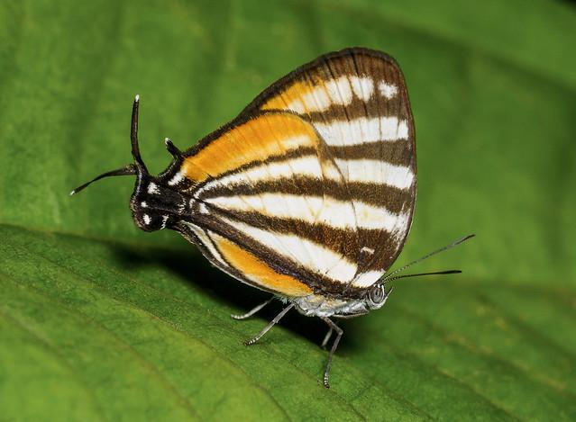 Togarna Stripestreak - Arawacus togarna (Lycaenidae, Theclinae, Eumaeini) 113p-24414