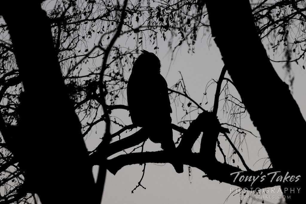 The silhouette of a great horned owl is seen after sunset in Thornton, Colorado. (© Tony's Takes)