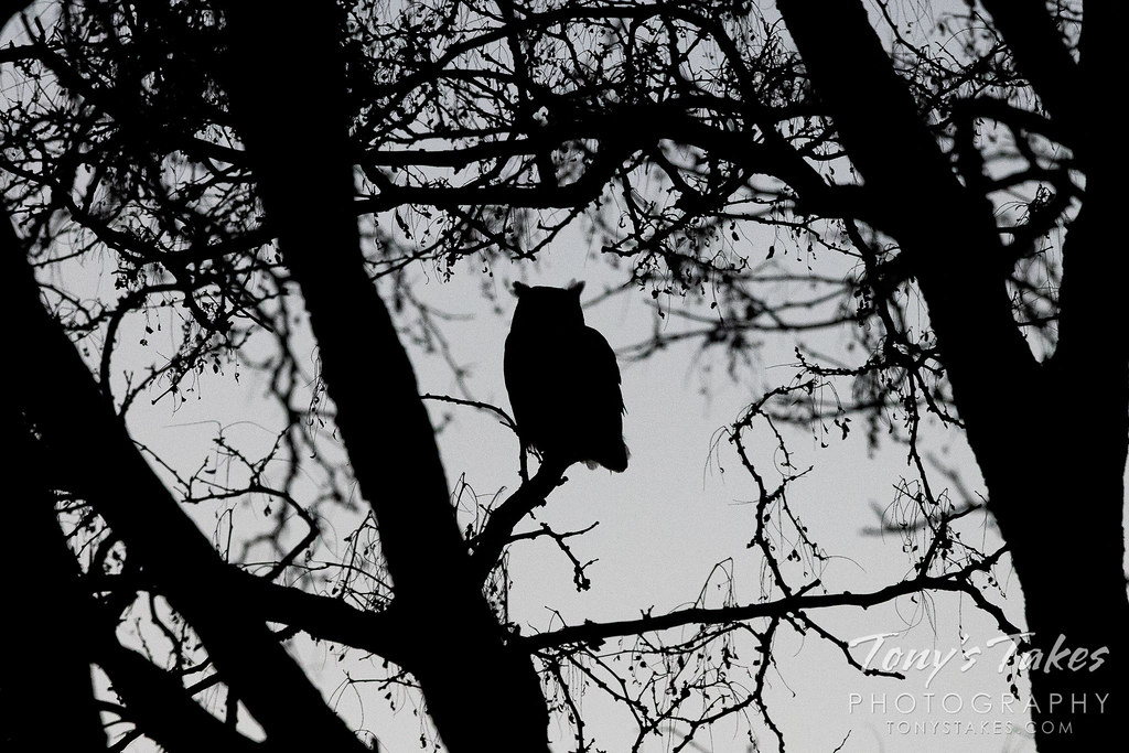 Neighborhood owls finally spotted