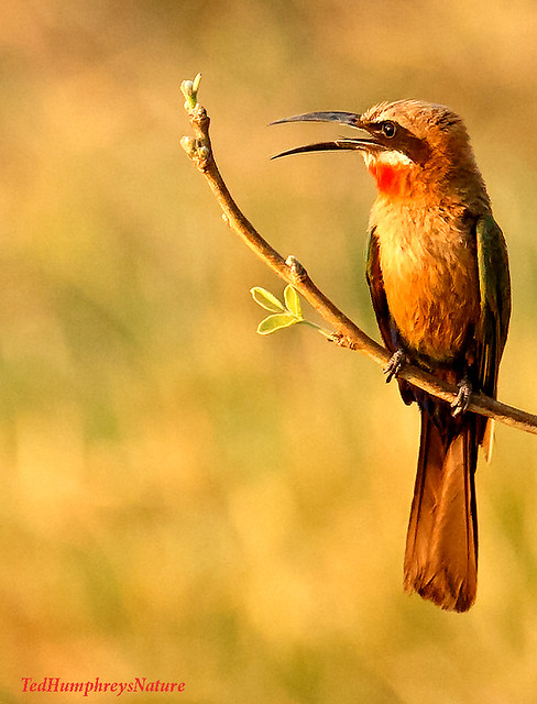 Whitefronted Bee Eater