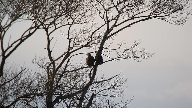 """Ojiro Washi"" Haliaeetus albicilla (White-tailed eagle)."