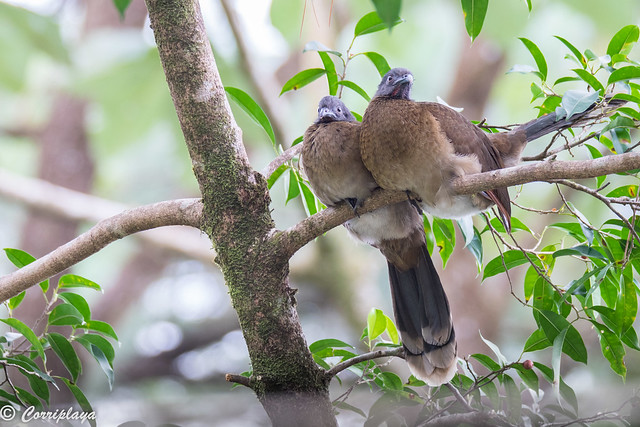 Pava cojolita, Penelope purpurascens, Crested guan
