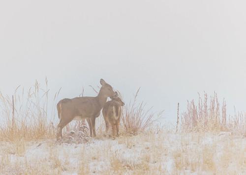 Whitetail Deer [Explore]