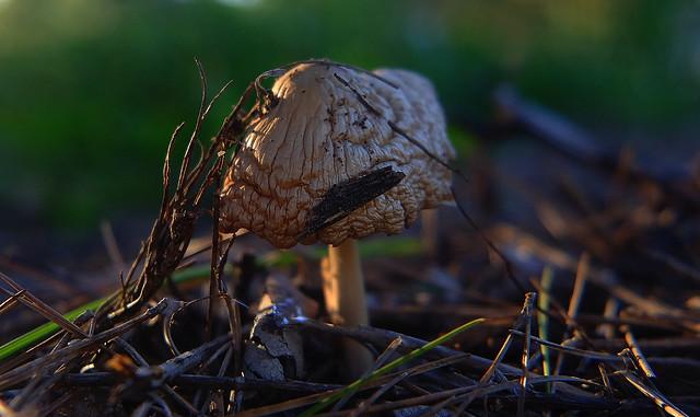 Mushroom (Macro)