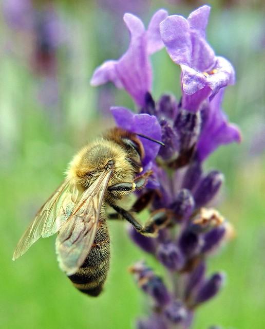Biene an Lavendelblüte