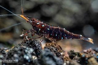 Black Galaxy Sulawesi Shrimp (Caridina sp.) - P1071961