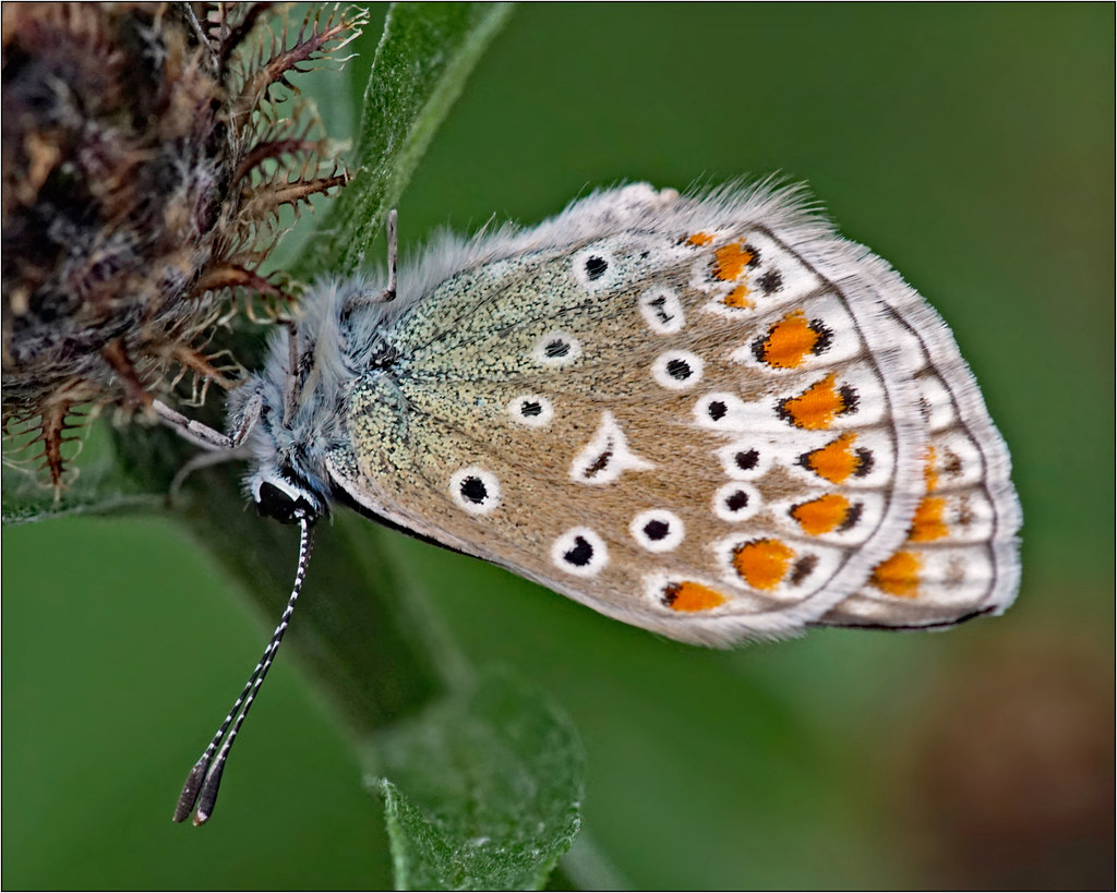 Common blue butterfly very close