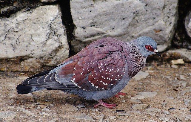 Speckled Pigeon (Columba guinea)