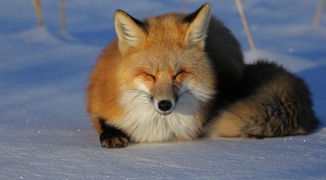 Red Fox...#27
