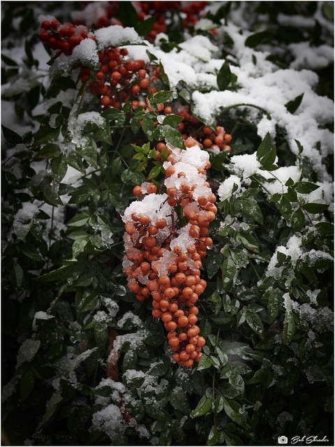 Nandina Berries in the Snow