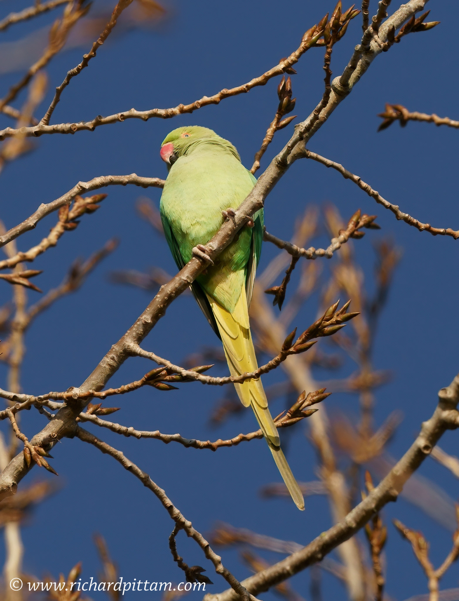 Pesky Ring-necked Parakeet
