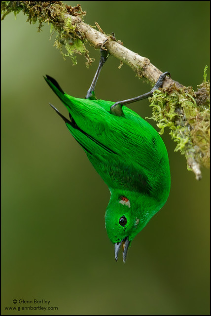 Glistening-green Tanager (Chlorochrysa phoenicotis)