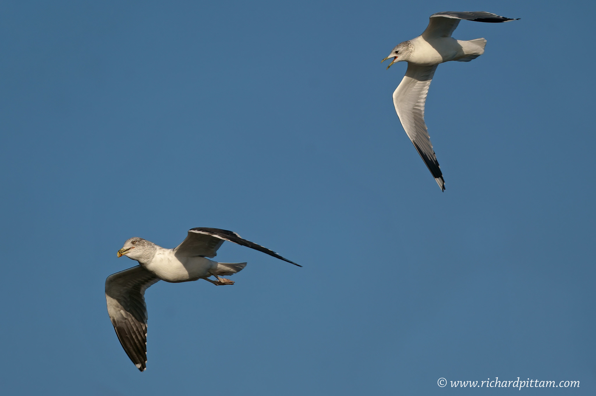 Lesser Black-backed Gull and Common in spattle for food