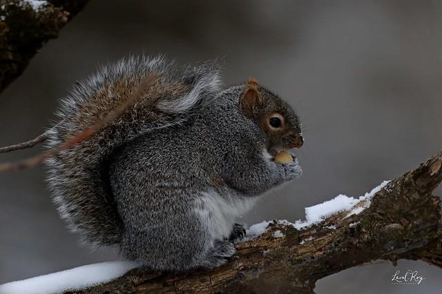 Ecureuil roux nord-américain / Tamiasciurus hudsonicus / North American Red Squirrel