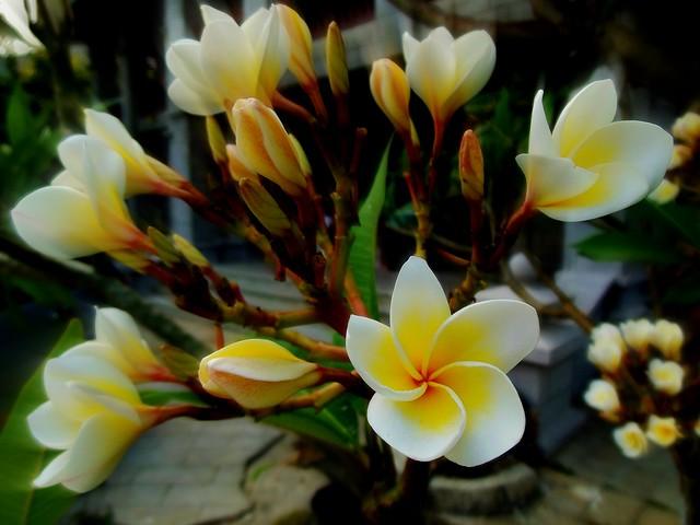 MYANMAR , Burma -  Frangipani-Blüten 2, 78127/13303