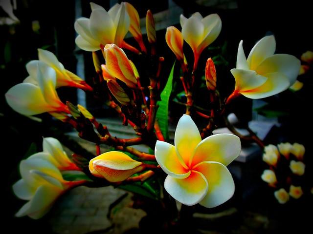 MYANMAR , Burma -  Frangipani-Blüten 3. 78126/13302