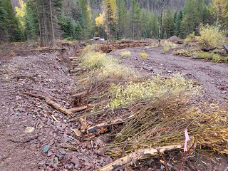 Installing willow cuttings - Lolo NF 2020 Annual Report