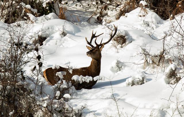 Joli cerf surpris dans la neige du Cantal!