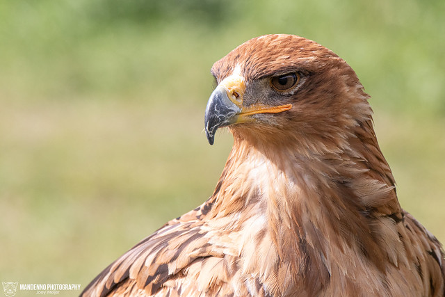 Savannah Eagle - Falconry Fair Tilburg - The Netherlands