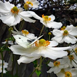 white butterfly 22nd April - Copy - Copy