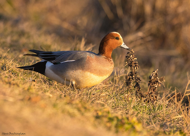 Eurasian Wigeon during the golden hour