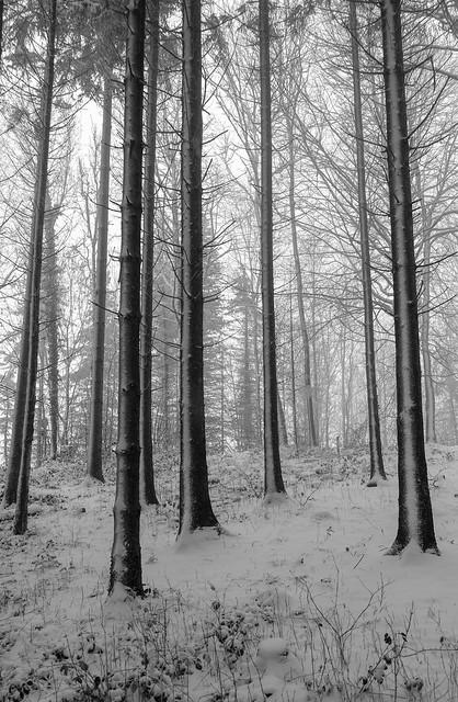 tall trees lll