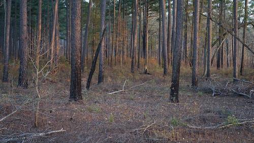 pine forest centralnorthcarolina sunset pentax k1 smcpentax11855mm iridientdeveloper