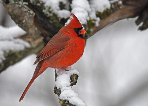 Northern Cardinal - Mendon Ponds - © Dick Horsey - Jan 06, 2021
