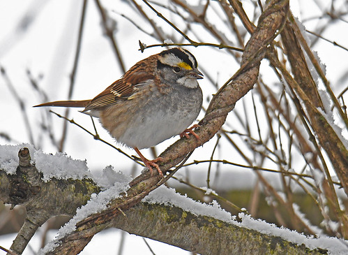 White-throated Sparrow - Mendon Ponds - © Dick Horsey - Jan 06, 2021