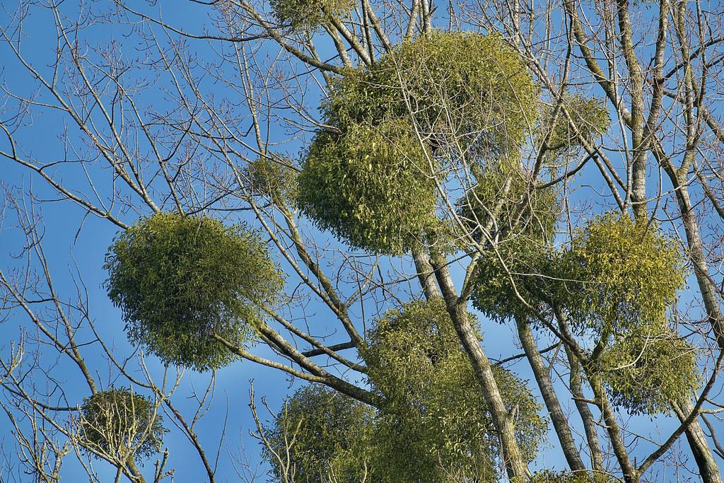 Mistletoe For Social Distancing