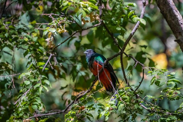 Eared Quetzal in the Chiricahua Mountains