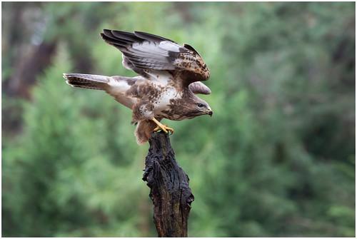 Common Buzzard - Blonde Buizerd (Buteo buteo) ...