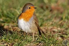 Rougegorge familier - Erithacus rubecula - European Robin : IMG_4761_©_Michel_NOEL_2021_Lac-Creteil