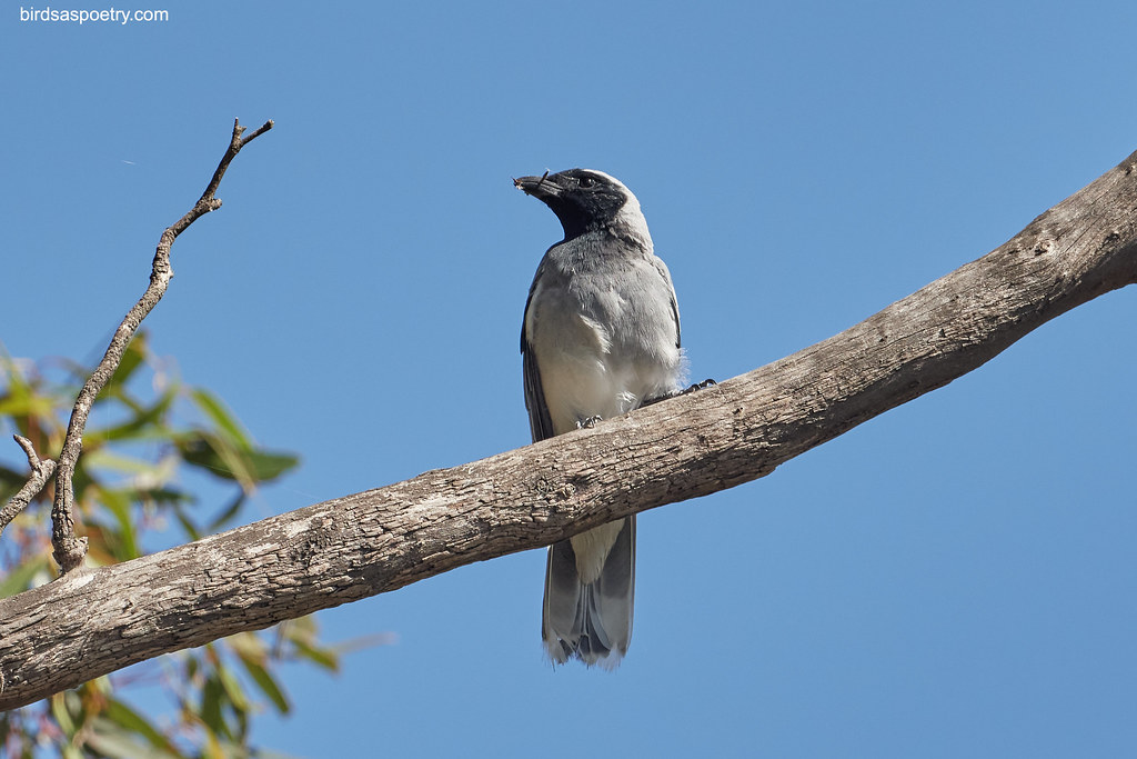 Black-faced Cuckooshrike: One Stick at a Time