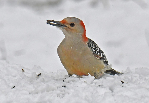 Red-bellied Woodpecker - Mendon Ponds - © Dick Horsey - Jan 06, 2021