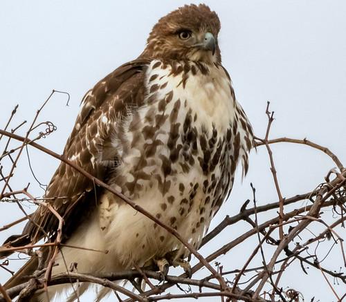 Red-tailed Hawk - Buckland Park - © David Laiacona - Jan 10, 2021