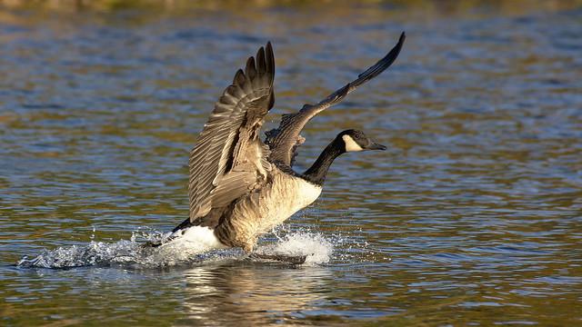 Canadian Goose Splashdown