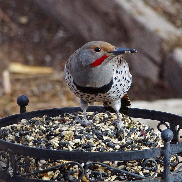 Northern Flicker (Colaptes auratus).  Albuquerque, New Mexico, USA.