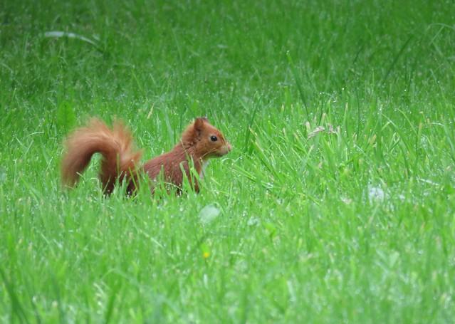 Benmore Gardens Squirrel 2