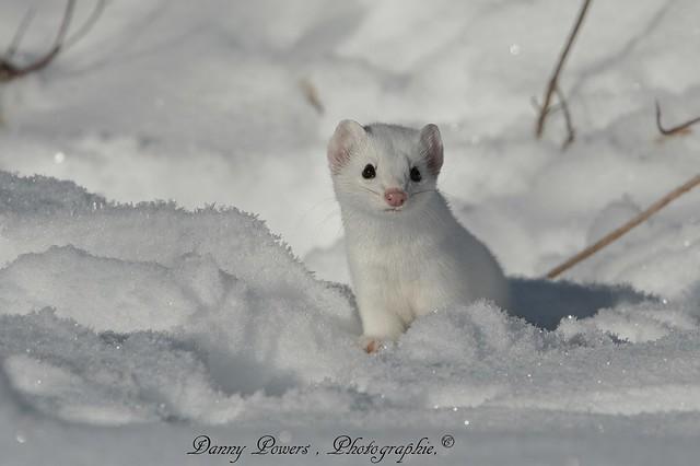 Belette a longue queue , Long-Tailed Weasel