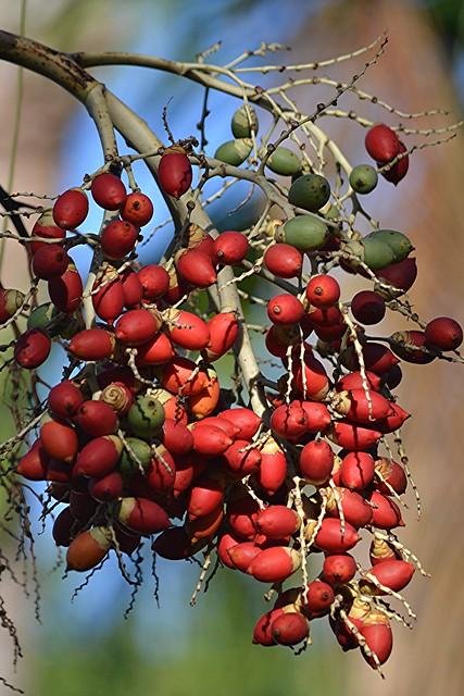 Ripe red Palm seeds