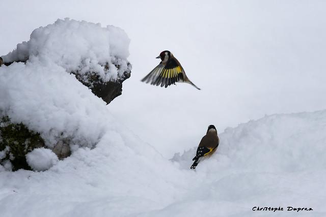 Chardonnerets Elegants sous la neige