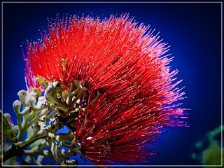 Pohutukawa_NZ's Christmas Tree