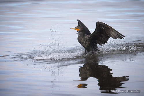 Double-crested Cormorant Sprays Up Water As Whle Landing | by brucefinocchio