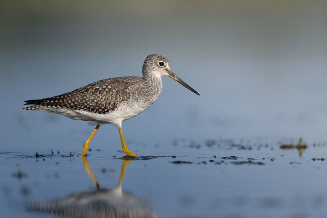 Grand Chevalier // Greater Yellowlegs