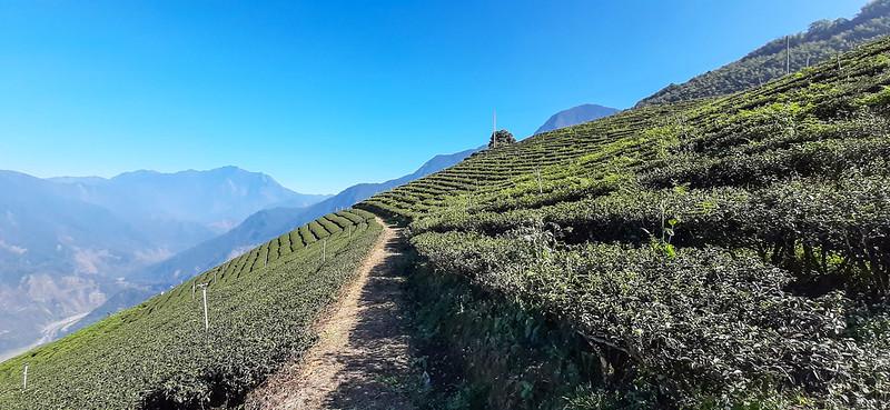 雙龍山山頂茶園