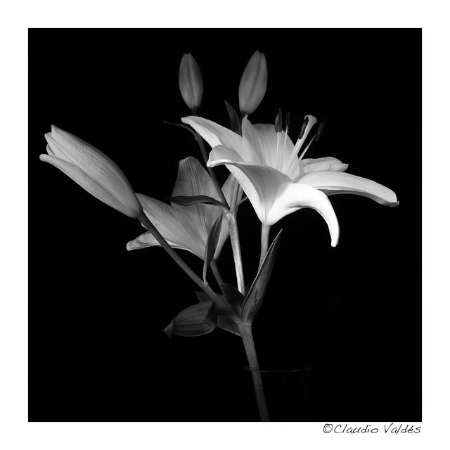White Lilies - Lirios Blancos