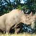"<p><a href=""https://www.flickr.com/people/hrother/"">Harry Rother</a> posted a photo:</p>  <p><a href=""https://www.flickr.com/photos/hrother/50827876027/"" title=""Black Rhinoceros""><img src=""https://live.staticflickr.com/65535/50827876027_8b650f7206_m.jpg"" width=""240"" height=""192"" alt=""Black Rhinoceros"" /></a></p>  <p>Disney Animal Kingdom</p>"