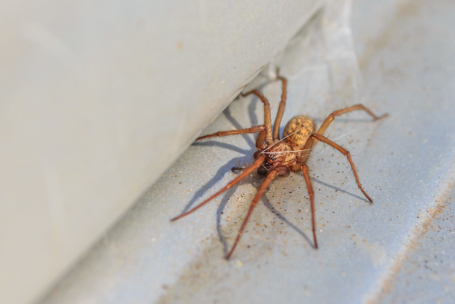 Hobo Spiders Control by Mega Pest Control Abbotsford, Canada