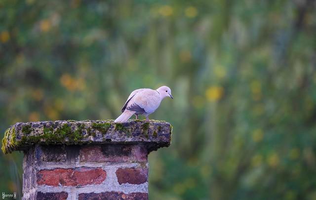 Pigeon - 9295